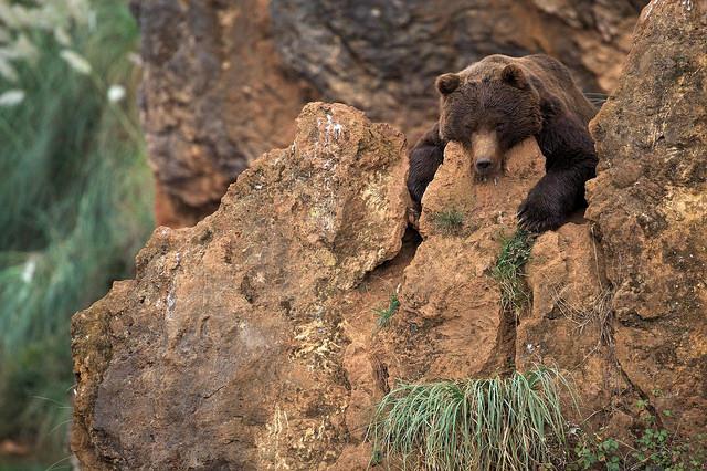 oso pardo cabarceno