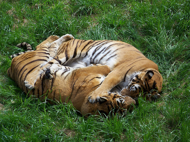 tigres cabarceno