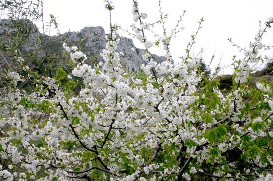 floracion cerezo gallinera