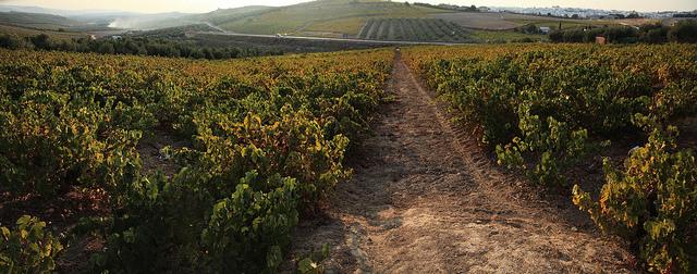 campiña sur viñedos