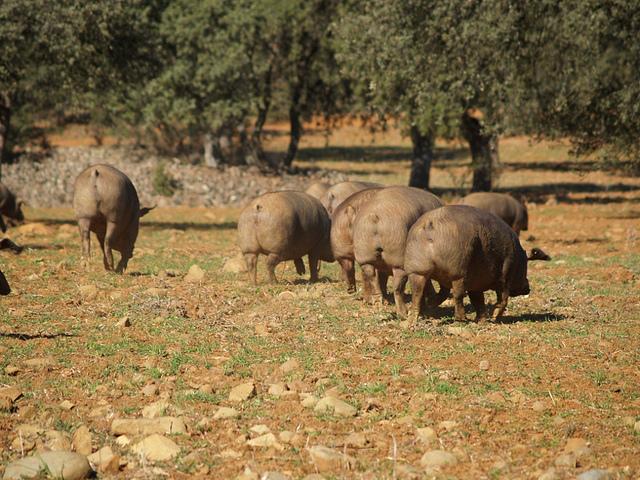 cerdo iberico campiña sur