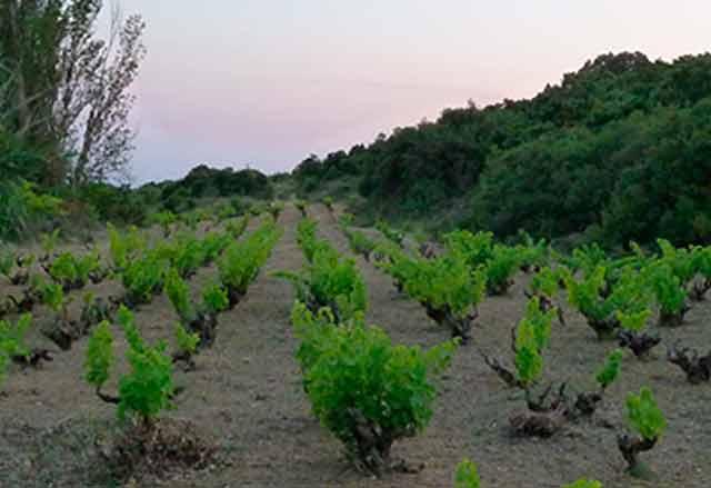 Viñedos de Bodegas Máximo Abete, en Navarra