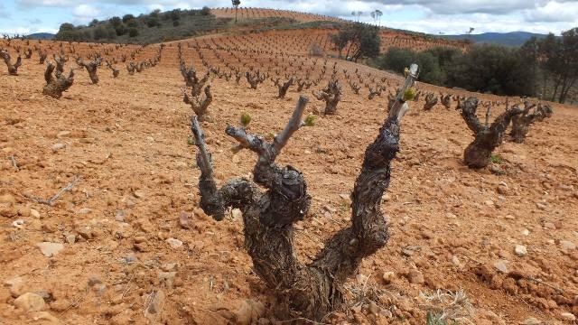 viñedos bodegas san alejandro