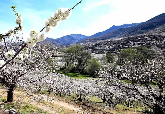 fiestas de la provincia de caceres cerezo en flor
