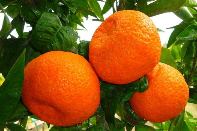 citricos-valencia